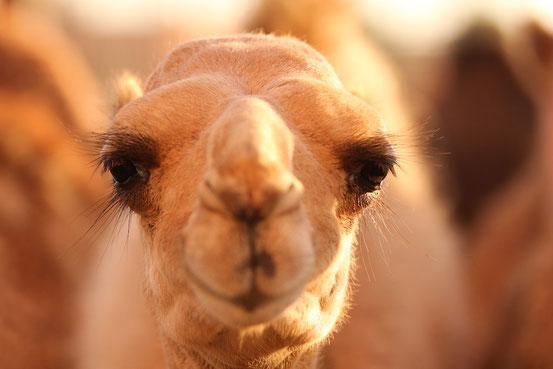 Für solche Wüstenschönheiten werden am Al Dhafra Kamelfestival Hundertausende Franken bezahlt.