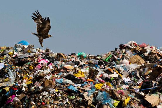 Surreal: Einer von Hunderten Adler auf der Mülldeponie in Salalah.