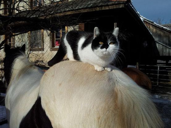 Katze Layla sitzt auf Tinkerstute Cheyenne