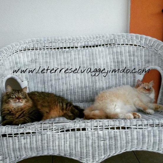 gatti siberiani, allevamento, gatti, cuccioli, siberiani, siberiano,cuccioli disponibili, gatti siberiani, cuccioli, siberiani, feld1, ipoalleregenico, gattini, neva masquerade, nem, allergia, gatto siberiano, allevamento,