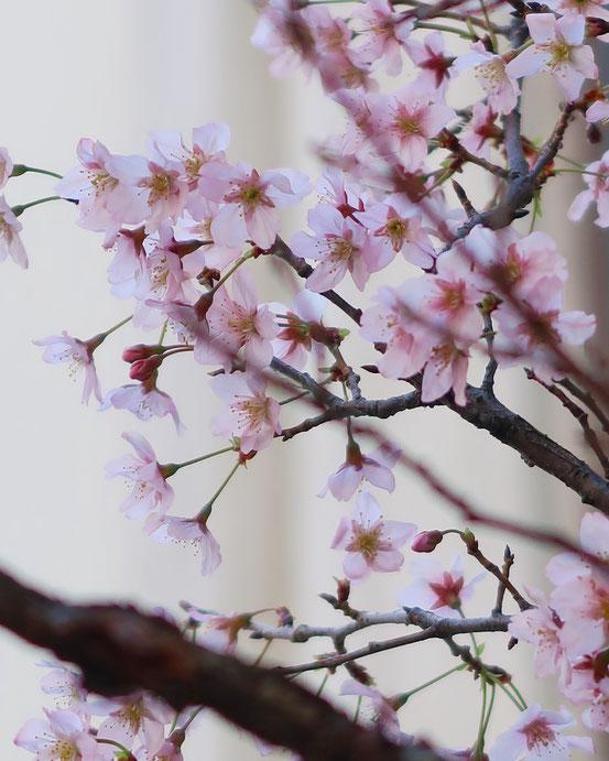 台東区松が谷の春