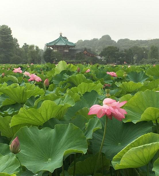 上野公園 蓮池