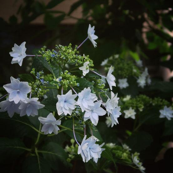 台東区の紫陽花