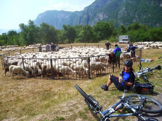100te von Schafen werden untersucht und markiert
