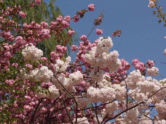 この時咲いていたのはほとんどこの八重桜!?