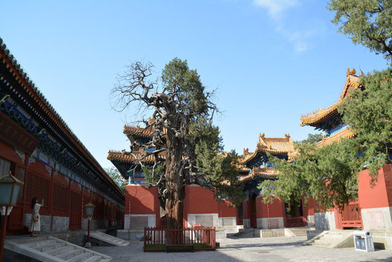 構内には多くの老木があり、中には樹齢700年というのもあるということです。