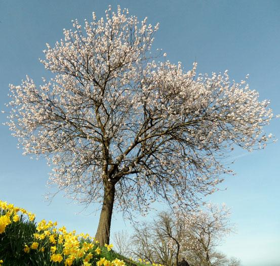 Prachtvolle Mandel und Narzissenblüte