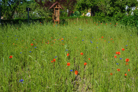7. Juni 2013 - Die Blumenwiese blüht! Foto: Sandra Borchers