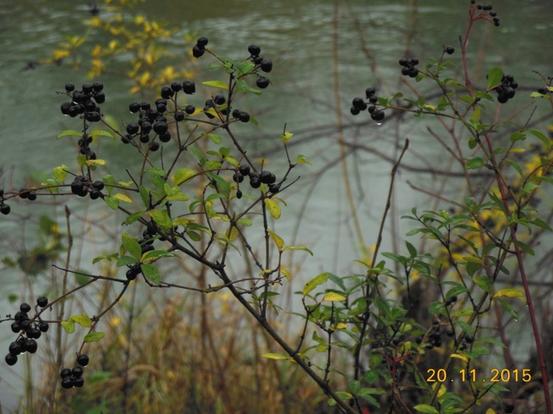 Beeren des Herbstes am Marchfeldkanal (Foto: Herma Exner)