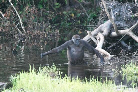 Das Gorillaweibchen Leah nutzt einen Ast als Stütze bei der Durchquerung eines Gewässers