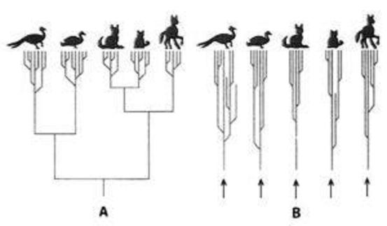 A: Stammesentwicklung nach der Evolutionstheorie. B: Entwicklung einzelner Arten aus Grundtypen