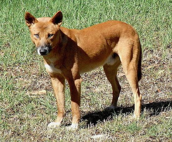 Dingo Wikipedia c) Quatl