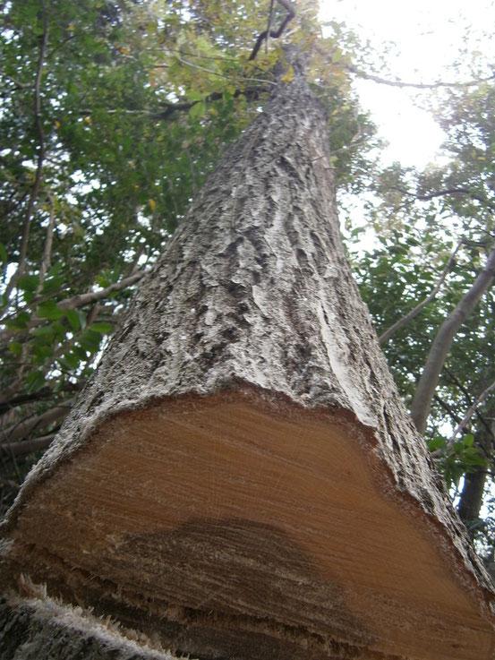 ナラの大木