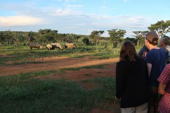Sundowner mit neugierigen Rhinos