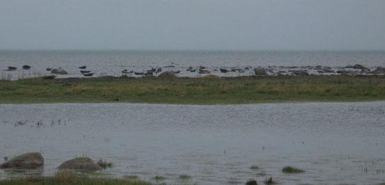 Une colonie de phoques a élu domicile près du phare.