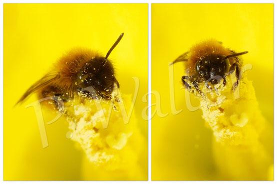 08.03.2015 : erste Wildbiene im Narzissenkelch (Schnittblume)