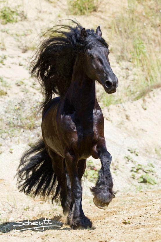 Pferdefotografin Friederike Scheytt Friesenhengst Thiadmar