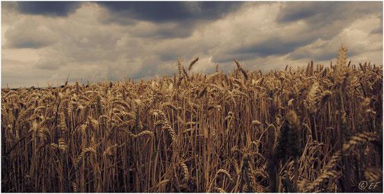 Das Weizenfeld & die Wolken