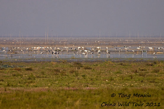 Wintering cranes of Poyang Lake