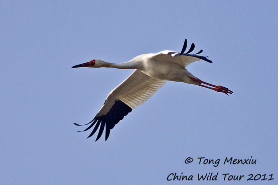 Siberian Crane in flight