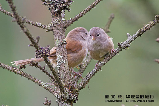 Grey-hooded Parrotbill