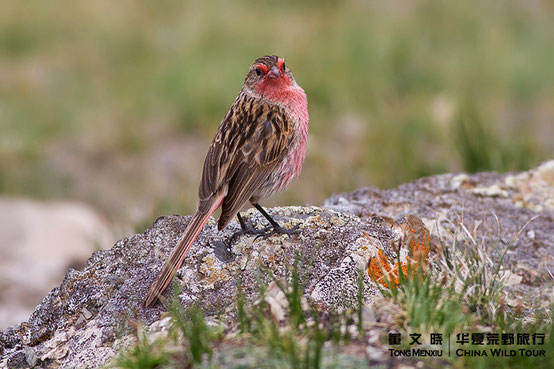 Pink-tailed Bunting