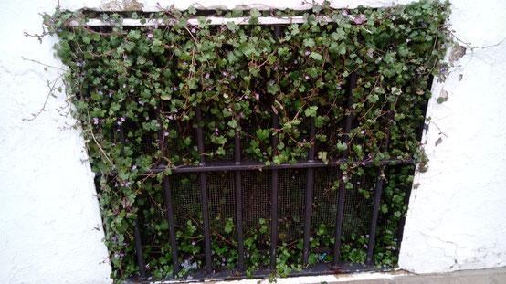 cymbalaria muralis picardia hierba de campanario jardín vertical