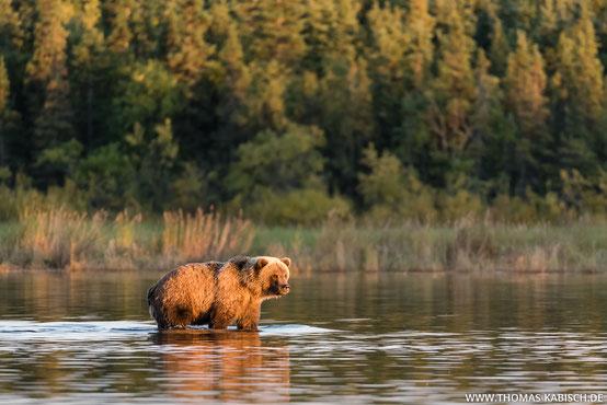 Bären fotografieren im Katmai Nationalpark in Alaska