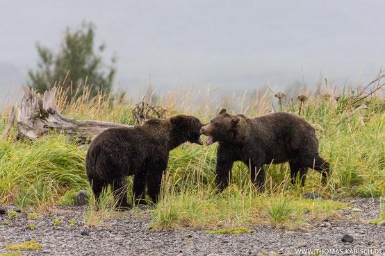 Bären fotografieren in Alaska