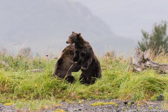 Bären fotografieren im Katmai Nationalpark