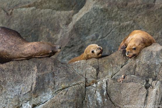 Stellersche Seelöwen im Kenai Fjords Nationalpark