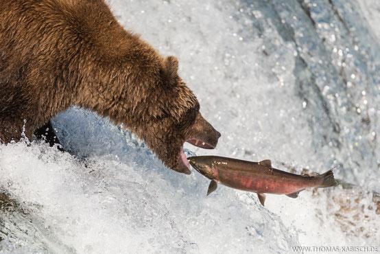 Alaska fotografieren Bär fängt Lachs