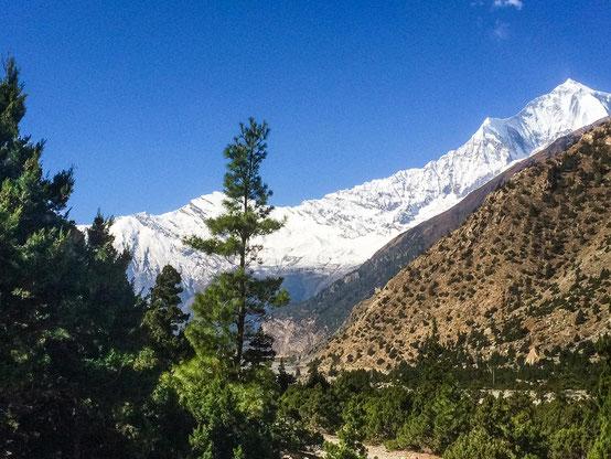 Tolle Kulisse - blauer Himmel, der weiße Dhaulagiri und davor grüne Nadelwälder