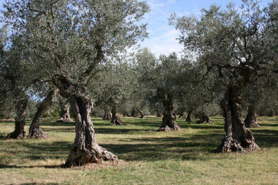Piante di ulivo nei pressi di Tocco da Casauria