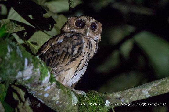 巨角鸮 Giant Scops Owl  ©Yann Muzika