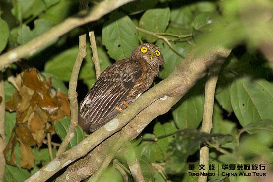 吕宋鹰鸮 Luzon Hawk-Owl  ©董文晓/华夏荒野旅行
