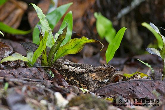 菲律宾夜鹰 Philippine Nightjar ©董文晓/华夏荒野旅行