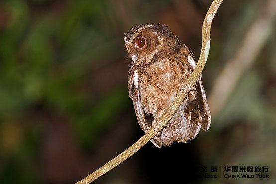 巴拉望角鸮 Palawan Scops Owl ©董文晓/华夏荒野旅行