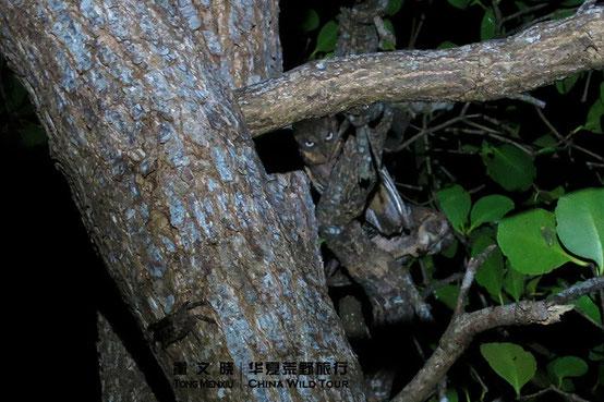 南菲律宾角鸮 Mantanani Scops Owl  ©董文晓/华夏荒野旅行