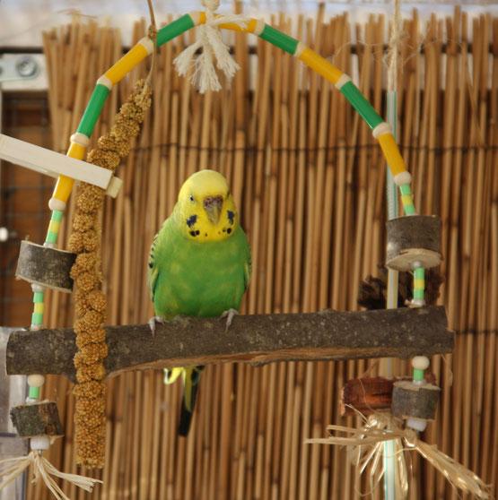 Perruche Ondulée sur sa balançoire Charming Swing