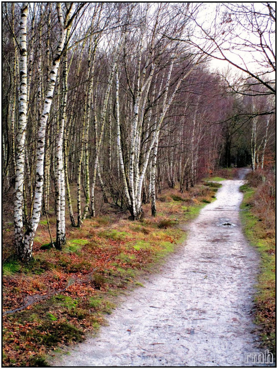 sandy trail between birches and heather