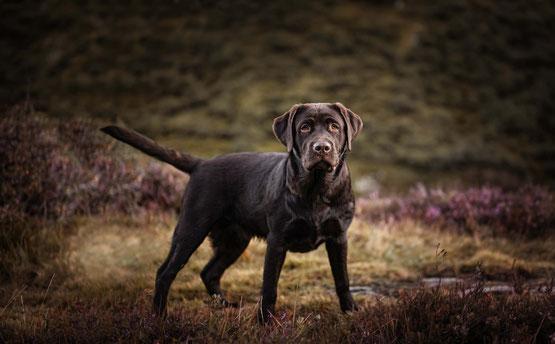 Brauner Labrador im Heidekraut schaut frontal in die Kamera, fotografiert von der Ostschweizer Fotografin Monkeyjolie