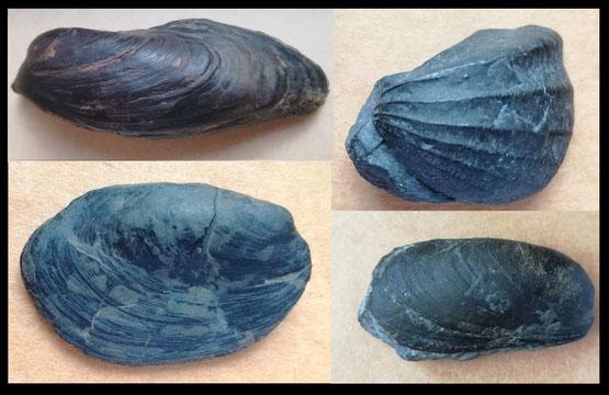 Fossili del Carnico di Dossena: in senso orario dall'angolo in alto a sx: Gervillia inflata, Myophoria inaequicostata, Modiolus sp., Curionia curionii.