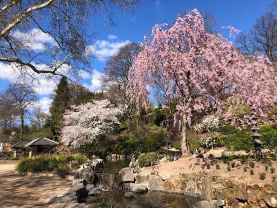 Zur Kirschblütenzeit - Hunomi - zeigt der Japanische Garten besondere Reize. Fotos: Stadt Kaiserslautern