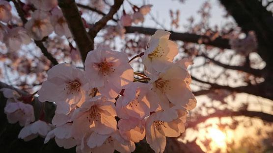 自宅近くの公園の桜🌸