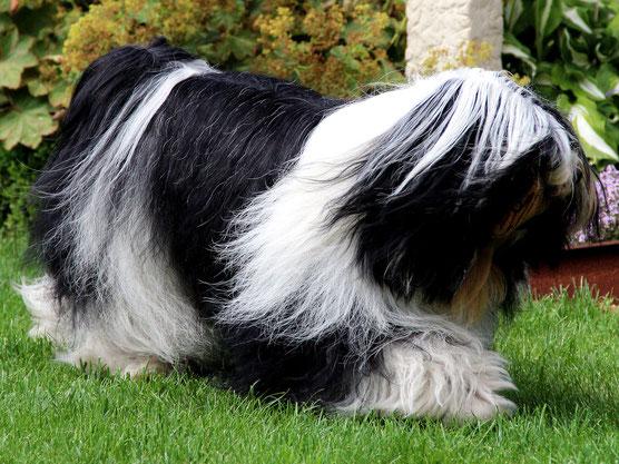 Pirjo Mäki_Anke Peine_Tibet Terrier_Peter Künzel_Katja Rauhut_Ti La Shu_KTR_Oelde