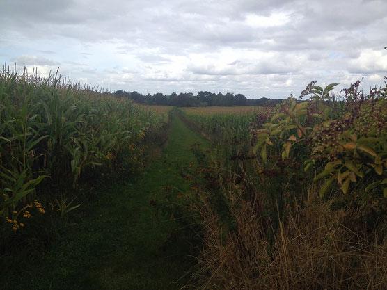 an großen Maisfeldern entlang
