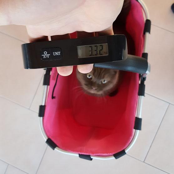 Katze Kater wiegen