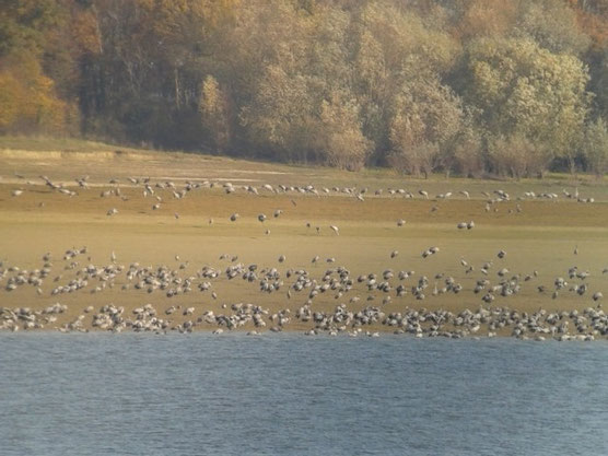 Grues cendrées (Grus grus) au Lac du Der le 23 novembre 2014