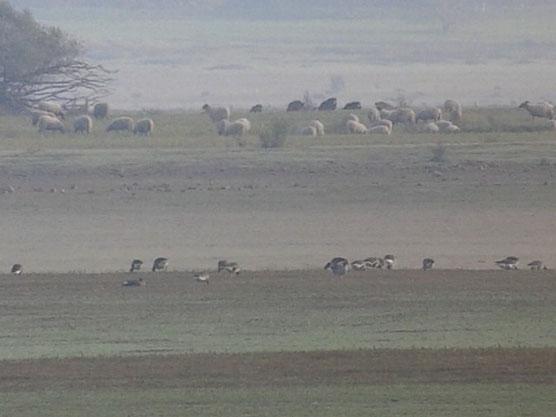 Oies rieuses (Anser albifrons) et moutons au Lac du Der le 22 novembre 2014